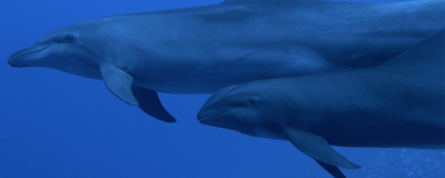 Bottlenose Dolphin Adopts Whale Calf of Another Species
