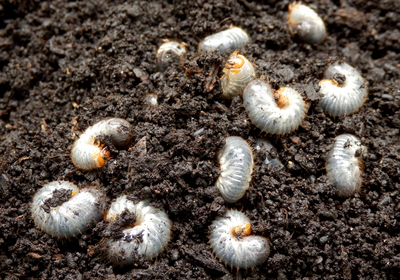 Eavesdropping on Soil Insects Could Aid Pest Management