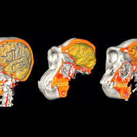 Image of the Day: Brains and Braincases