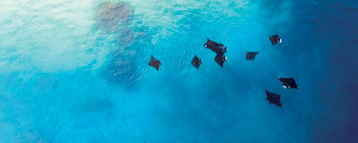 Manta Ray Populations Have Complex Social Structures