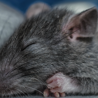 Cortical Neurons May Consolidate Memories During Slow Wave Sleep