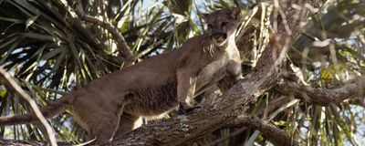 Image of the Day: Puma Genome Sequencing
