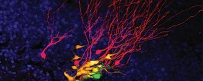 Long-Lived Neural Stem Cells Identified in Living Mice