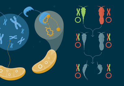 Infographic: How the Mitochondrial and Nuclear Genomes Interact