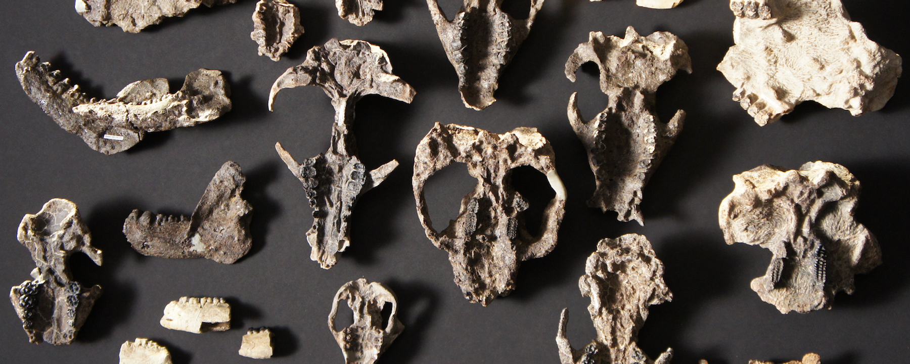 Trove of Fossils Shows Mammal Evolution after Dino Extinction