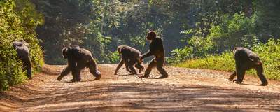 Ape Fossils Shed New Light on Evolution of Bipedalism