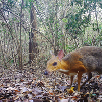 Image of the Day: Chevrotain Caught on Camera