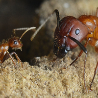 Image of the Day: Reprogrammed Ants