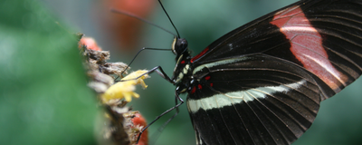 Gene Regulation Gives Butterflies Their Stunning Looks