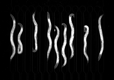 Microfluidic Chambers Trigger Sleep in <em>C. elegans</em>
