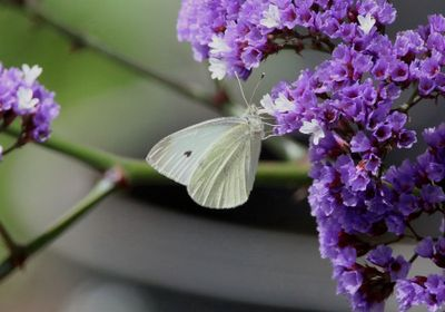 Genomes Sequenced for Every US and Canada Butterfly