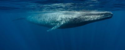 Blue Whales' Hearts Can Beat Exceptionally Slowly