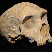 <em>Homo sapiens</em> Might Not Be Responsible for Neanderthal Demise