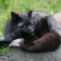 Famous Fox Domestication Experiment Challenged
