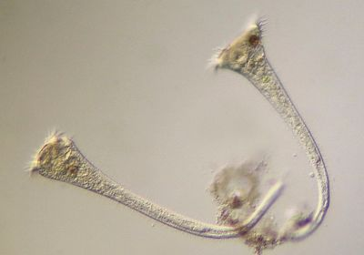 Single-Celled Organism Appears to Make Decisions