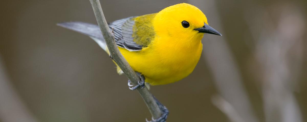 Climate Change Linked To Shrinking Bird Sizes Study The Scientist Magazine