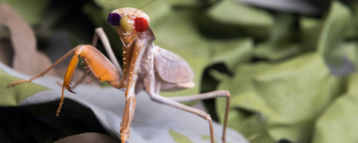 Image of the Day: Bespectacled Mantis