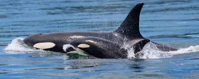 Grandmother Orcas Help Young Whales Survive and Thrive: Study
