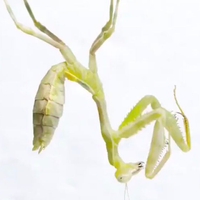 Image of the Day: Molting Mantis