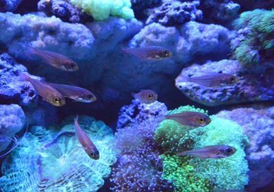 Fish Steals Bioluminescence from Prey