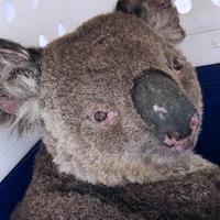 Scientists Take Stock of Australian Wildlife Devastated by Fires
