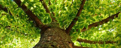 Ginkgo's Extreme Longevity Credited to Immune System
