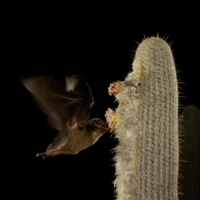 Ecuadorian Cactus Absorbs Ultrasound, Enticing Bats to Flowers