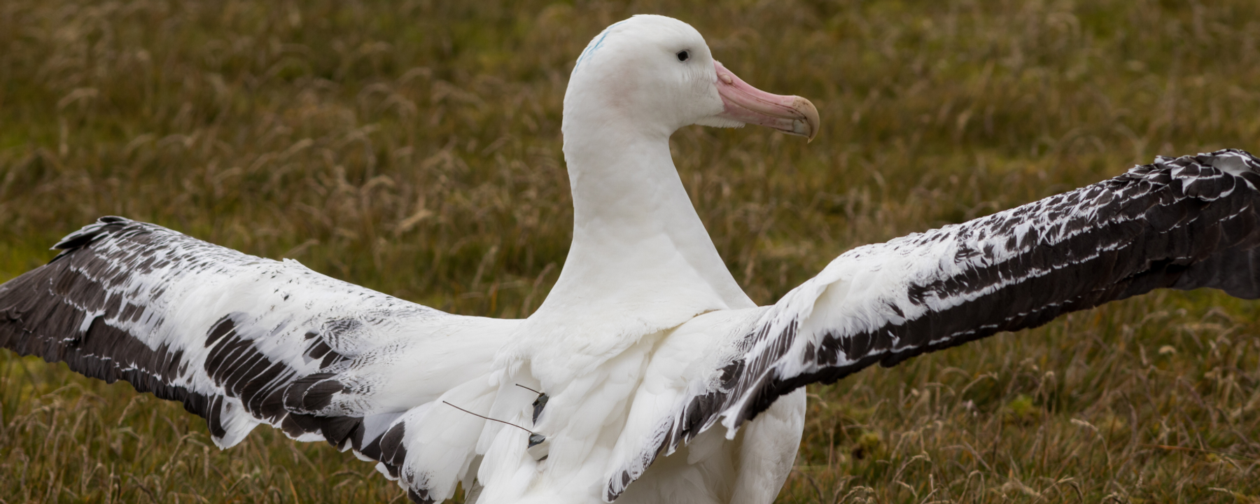 Image of the Day: Albatross Sentinels