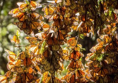 Mexico's Monarch Butterfly Defender Found Dead