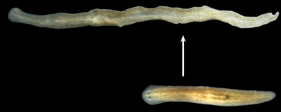 Image of the Day: Regenerating Worms