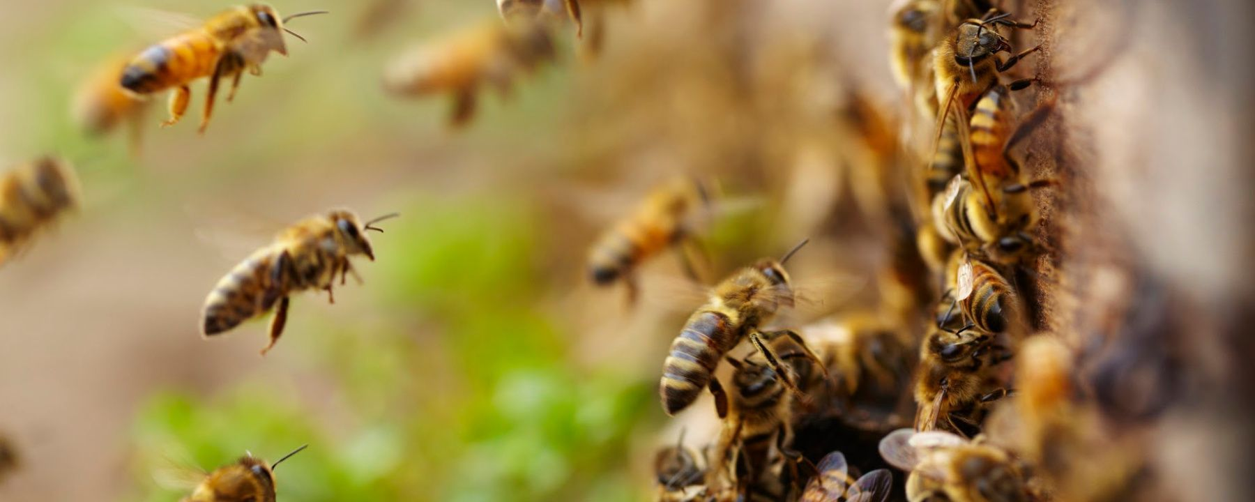Engineered Microbe in Bees' Guts Fends off Deadly Varroa Mite