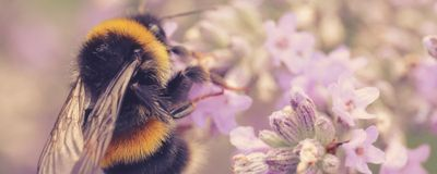 Climate Change Linked to Drop in Bumble Bee Numbers: Study