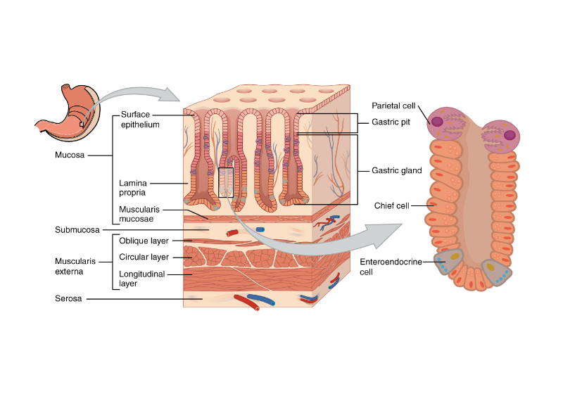 new report counters claims on the origin of gastric cancer | the scientist  magazine®  the scientist magazine