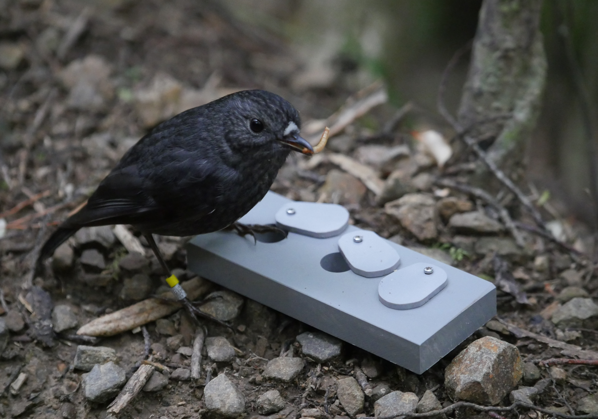 Wild Birds Remember A Novel Task For Nearly Two Years The Scientist Magazine