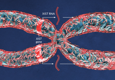 Infographic: How Some X-Chromosome Genes Escape Inactivation