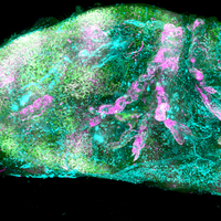 Image of the Day: See-Through Tissue