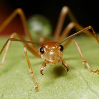 Ants Produce Antibiotics that May Protect Plants