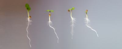 Compounds from Smoke Alter Root Development in Plants