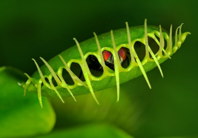 What Makes a Venus Flytrap Snap