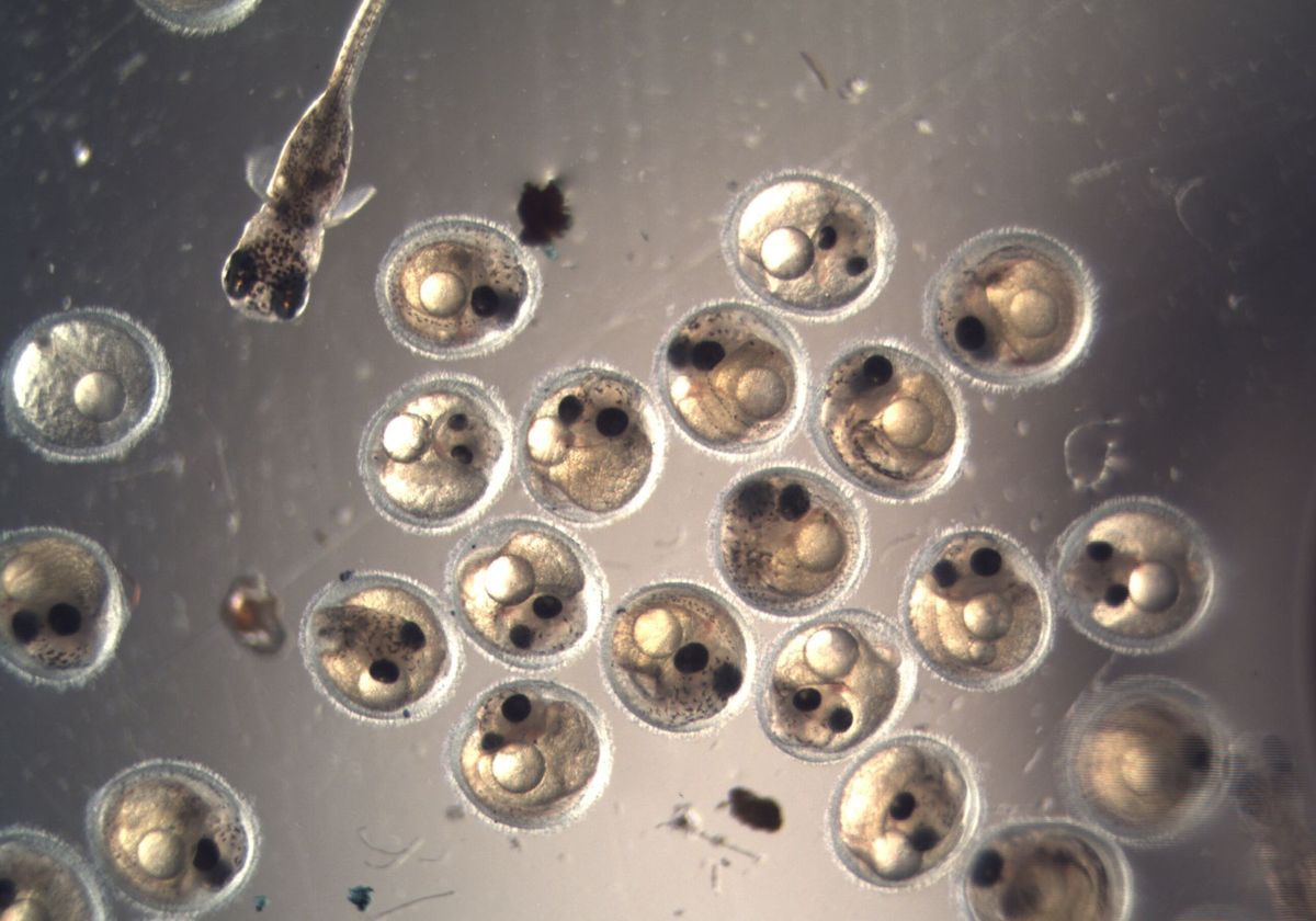 Killifish embryos