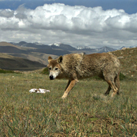 Image of the Day: Himalayan Wolves