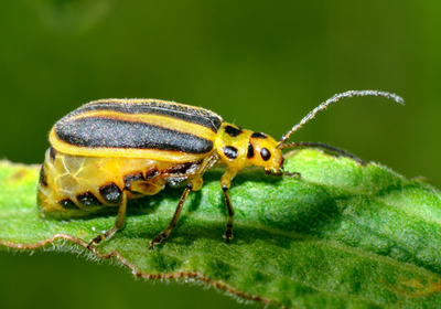 "Generations of Insect Attacks Drive Plants to ""Talk"" Publicly"