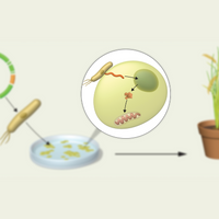 Infographic: A Gene Editor for Plant Mitochondrial DNA