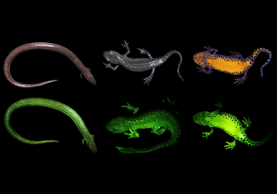 Glowing Amphibians Extremely Common