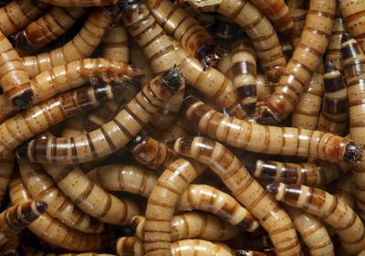 Beetle Larvae Can Survive on Polystyrene Alone