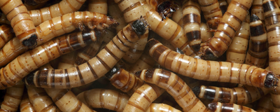 Beetle Larvae Can Survive on Polystyrene Alone
