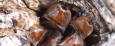 Image of the Day: Turtle Ant Soldiers