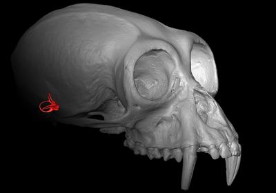 Image of the Day: Vestibular System