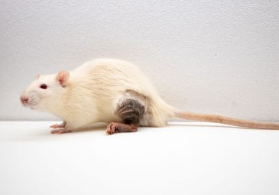 Transplant Method Avoids Rejection of Donor Leg for Months in Rats