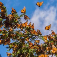 Monarchs Covered 53 Percent Less Area in Mexico this Winter